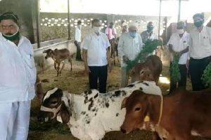 गौशाला बांसड़ा में 347  निराश्रित गायों को हरा चारा व गुड़ खिलाया